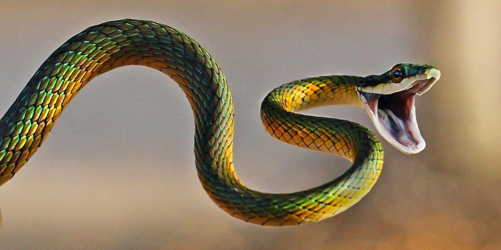 serpiente atacando