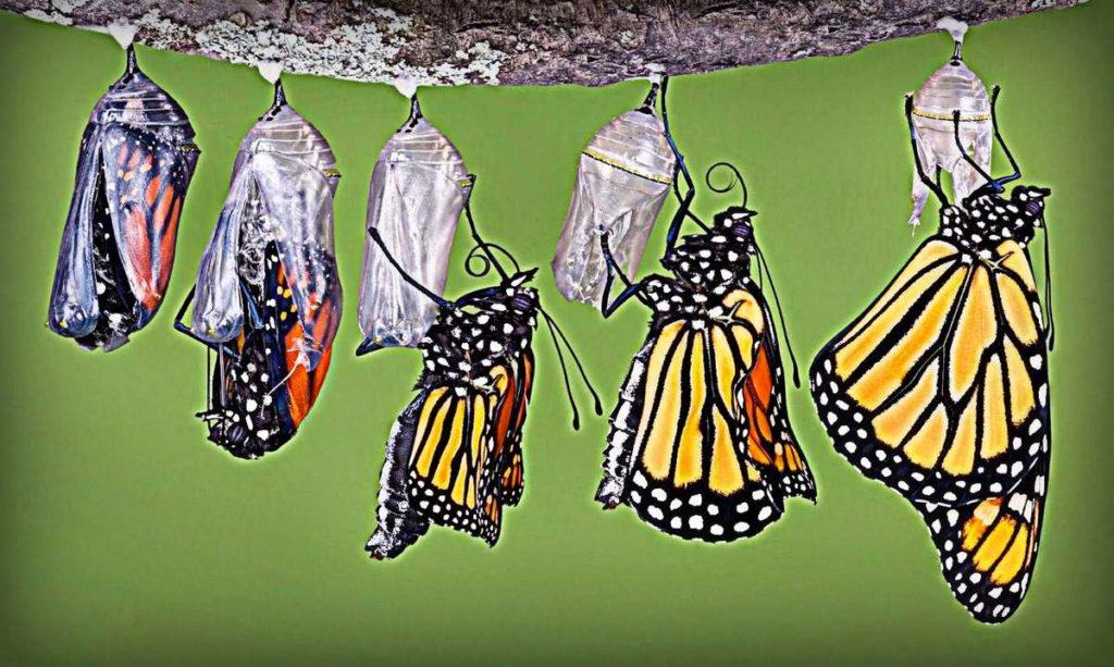 mariposa saliendo del capullo