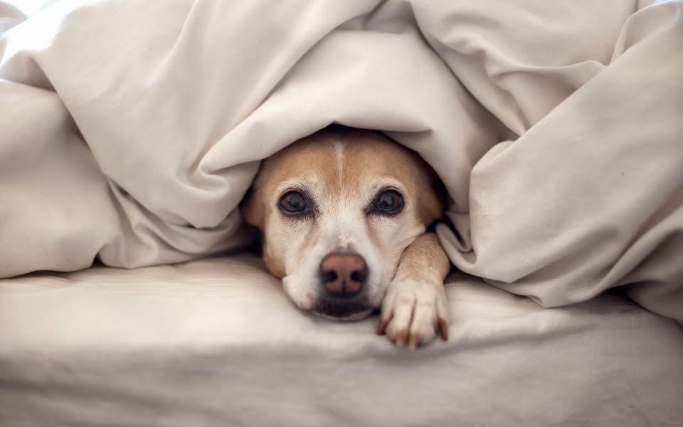 Perro debajo de las sábanas