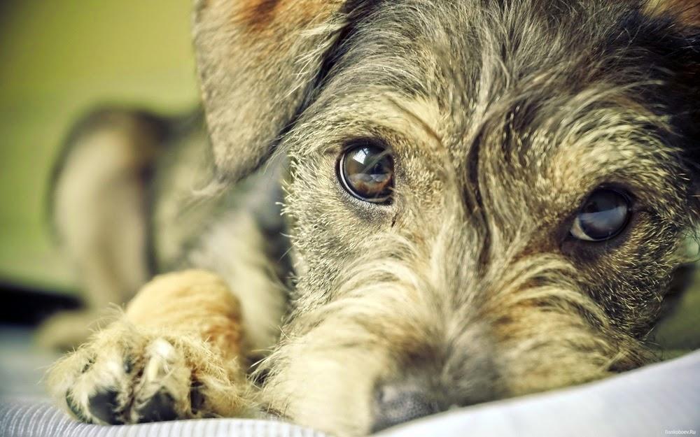 Perro mirada triste